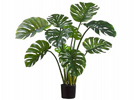 Split Leaf Philodendron (4 ft)