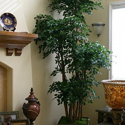 9ft Oriental Ficus Tree